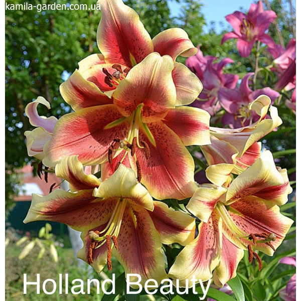 Holland beauty ot гібрид лілія