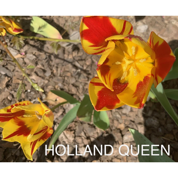 Holland queen тюльпан